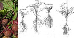 Червено цвекло cherveno-cveklo-01